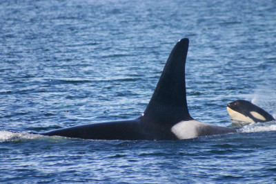 orca and calf in the san juan islands - sail the san juans