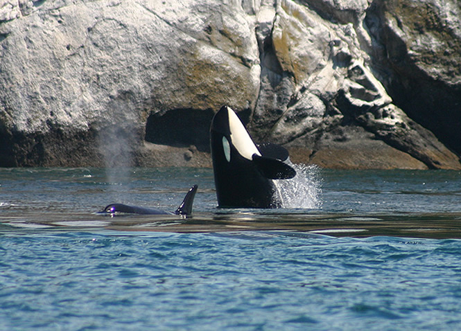 Orcas spy hop in San Juan Islands sailing charters