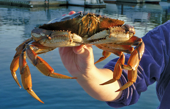 crabbing activities sail the san juans sailing charters