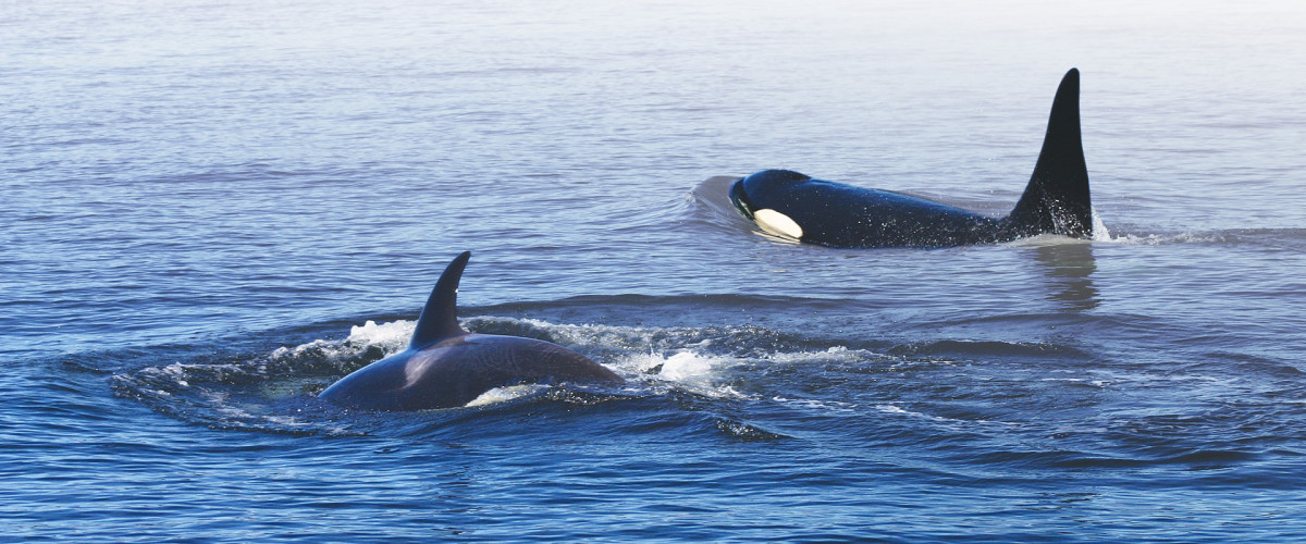 orcas_homepage