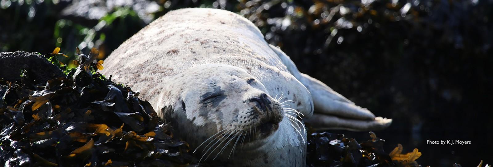 napping seal on the san juan islands sailing cruises