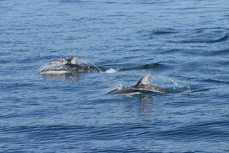 white sided dolphins on san juan islands crewed sailing tour