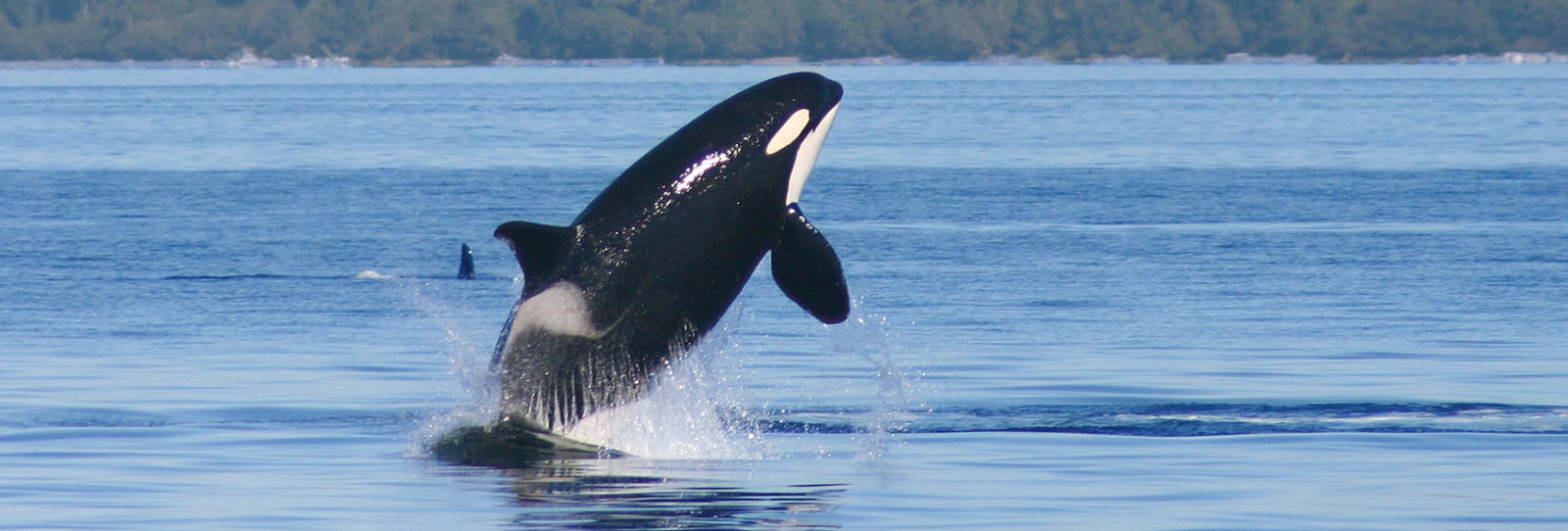 orcas in the san juan islands - san juan island wildlife