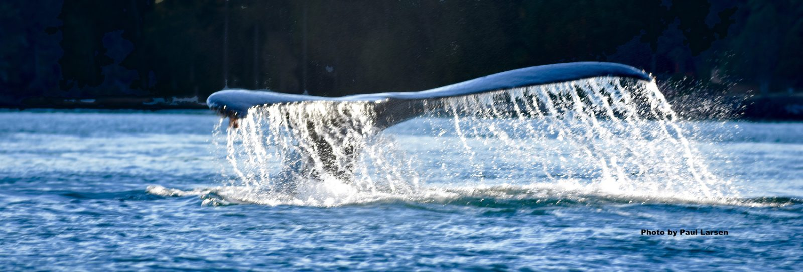 Whale watching san juan islands sailing tours
