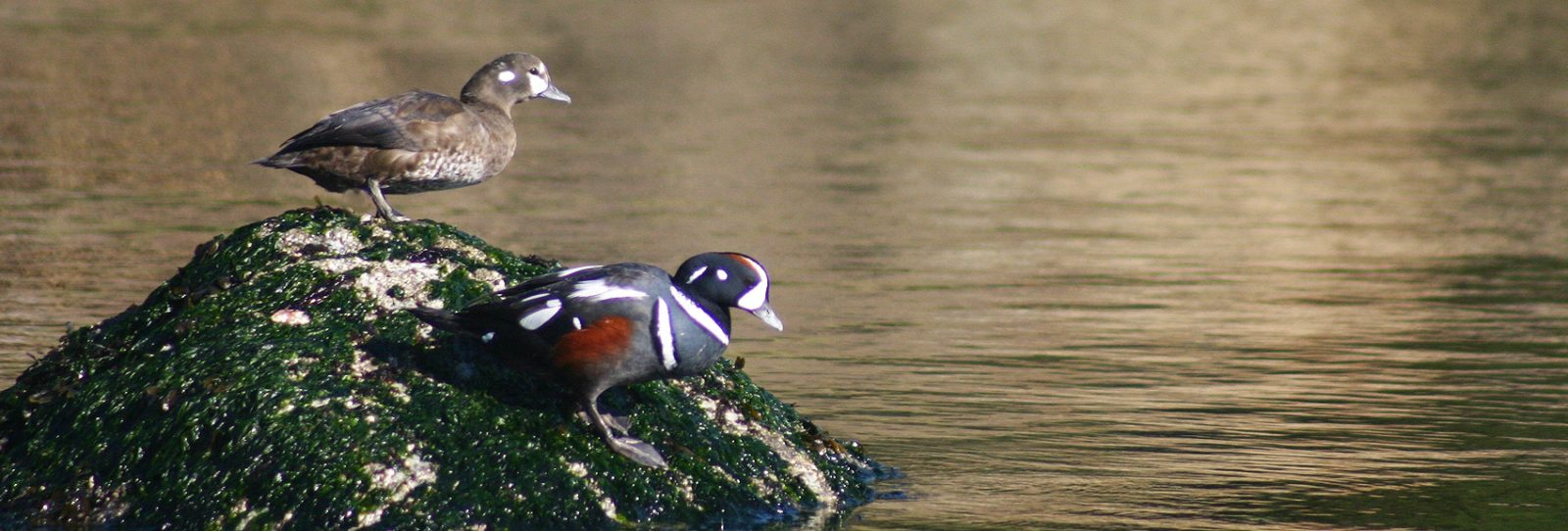 Harlequin Ducks Wildlife San Juan Islands